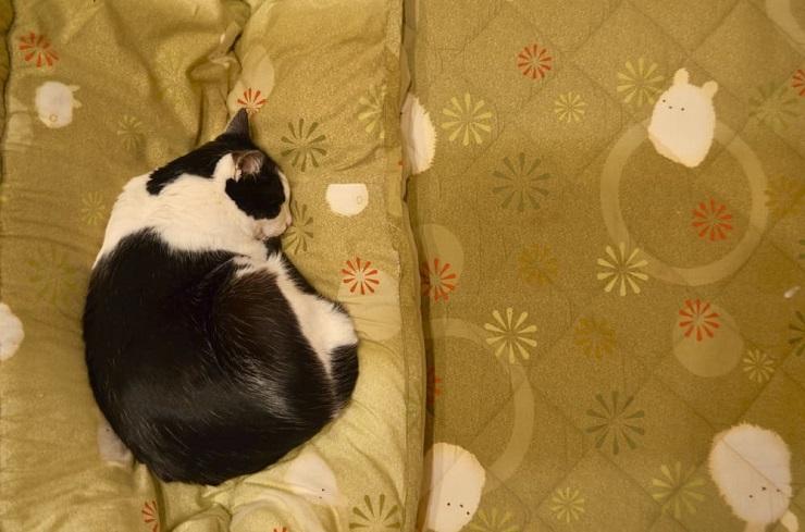 こたつで寝る猫